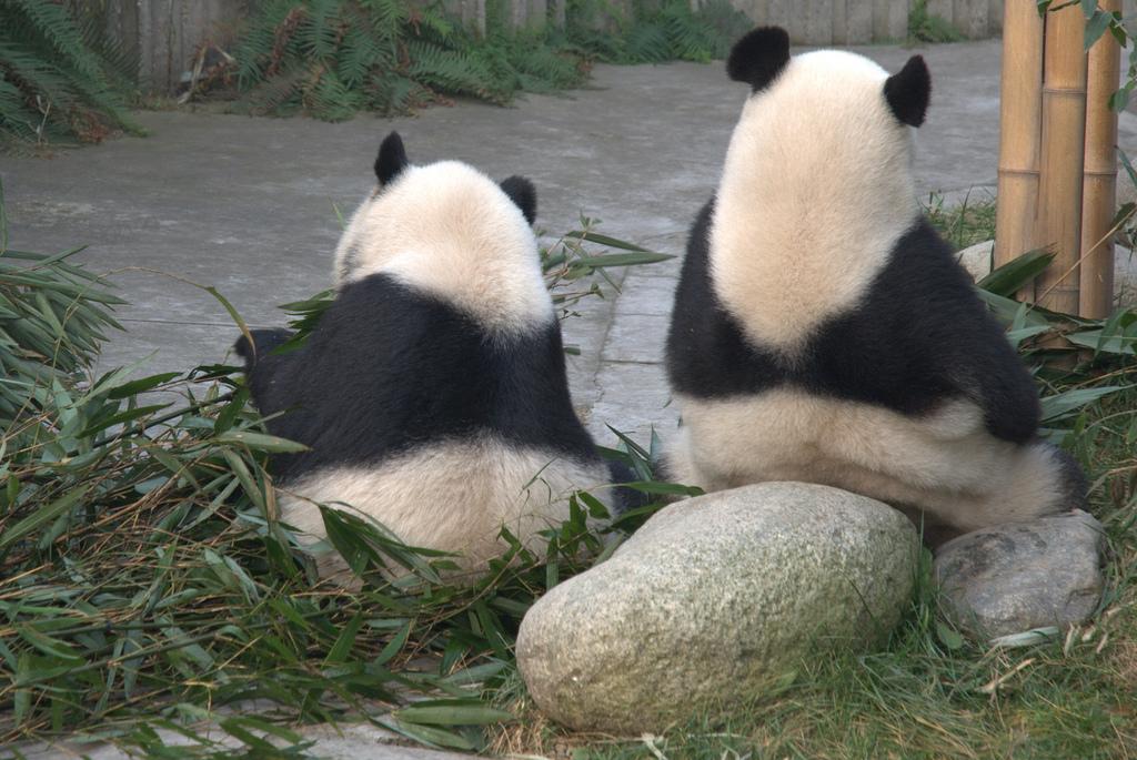 Panda's relaxing