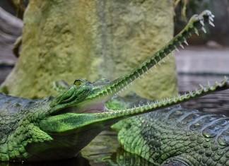 Groene krokodil dierentuin Praag
