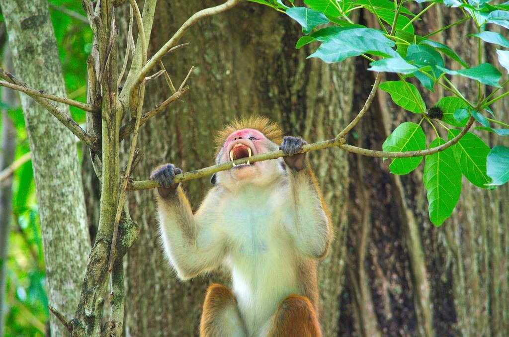 Agressive monkey