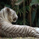 Back of the white tiger