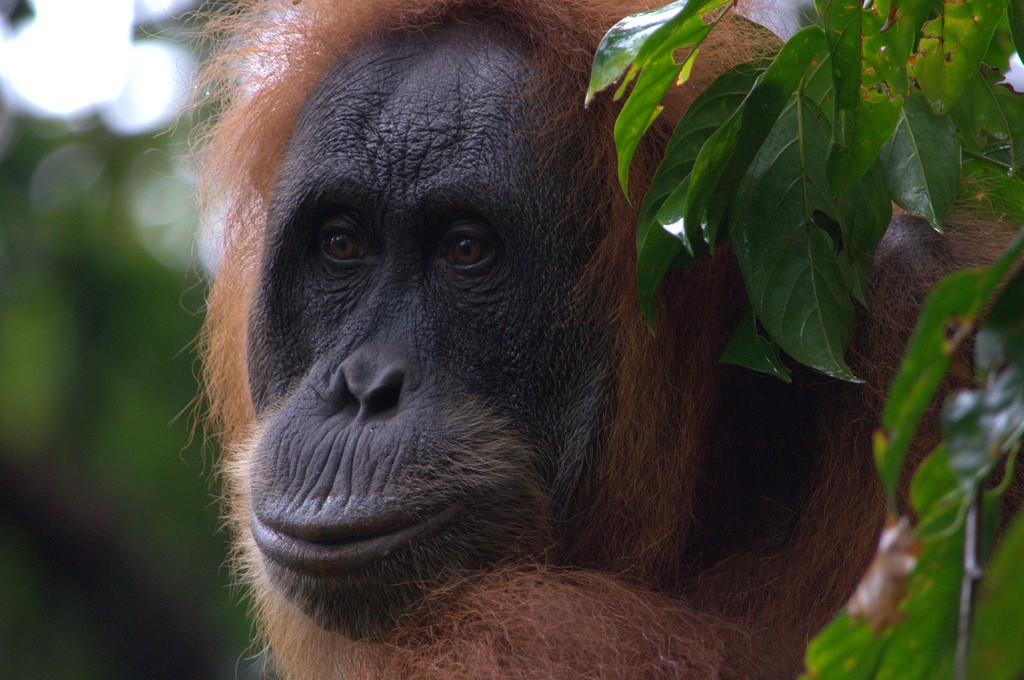 Close-up Orang Utan