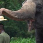 Elephant stealing hat