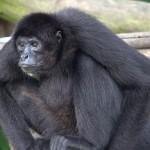 Gibbon chilling