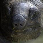 Head of giant Turtoise