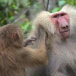 Hymadryas baboons