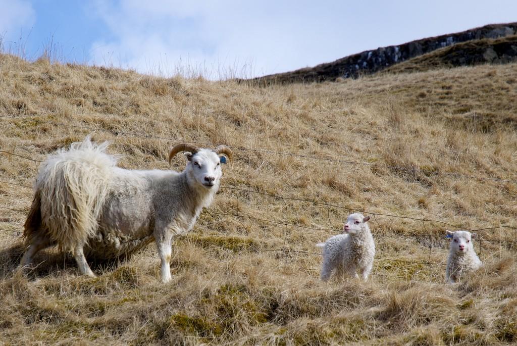 Little cute lambs