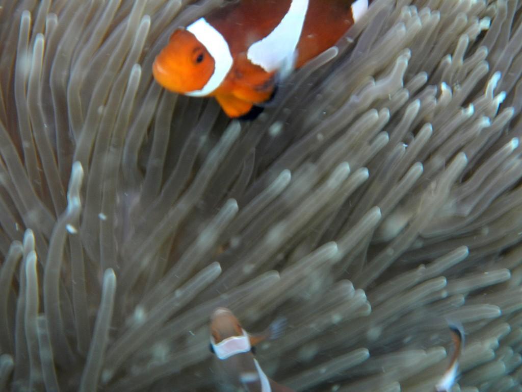 Nemo (Anemonefish)