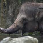 Small asian elephant