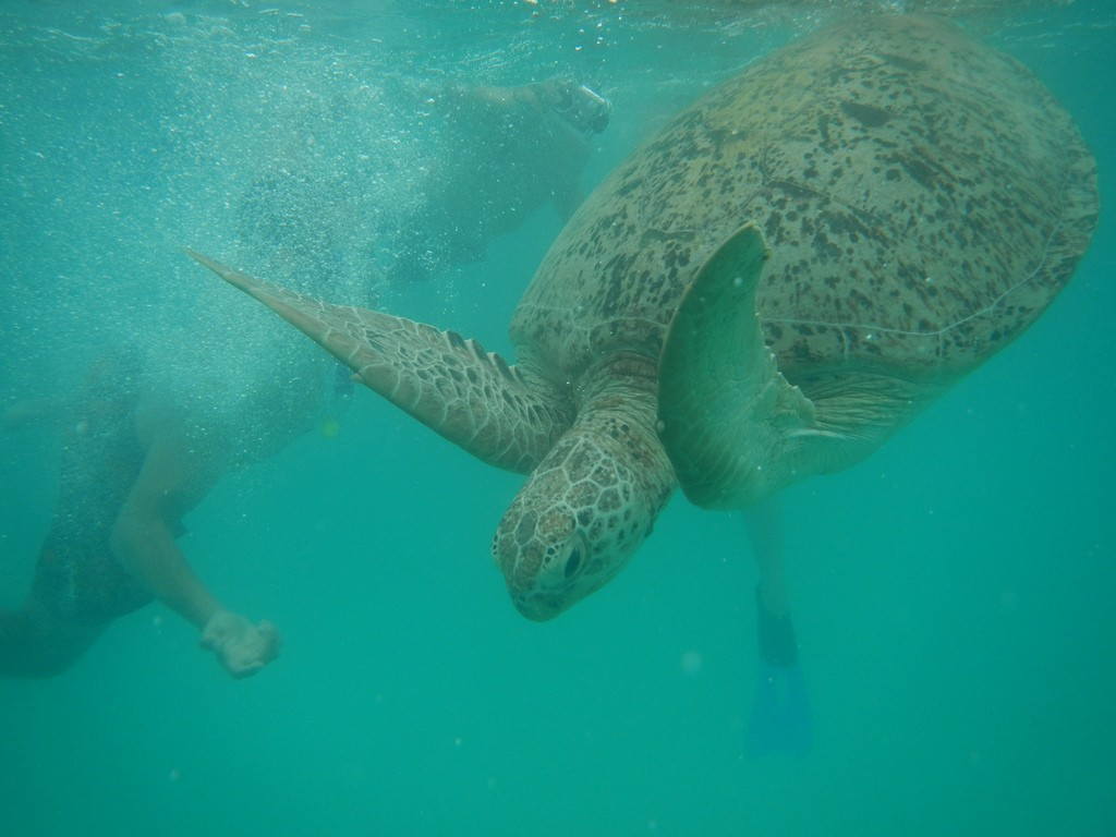 Turtle diving back to the bottom
