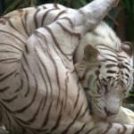 White tiger licking