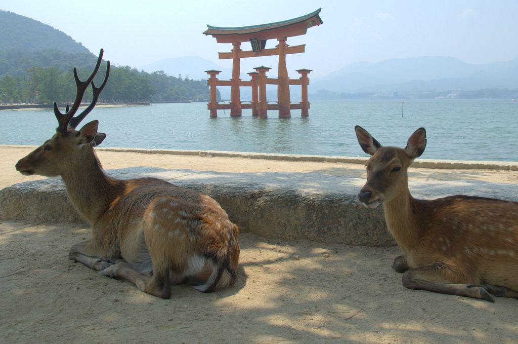 Deer in front of floating shrine Miyajima