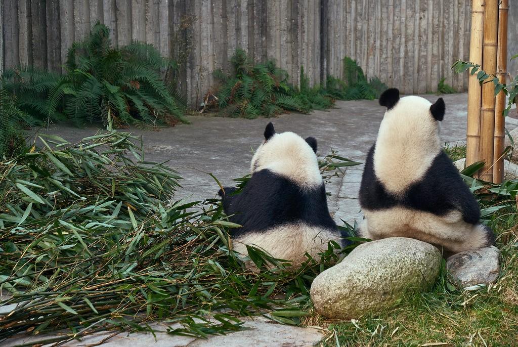 Giant Panda's Chengdu, China