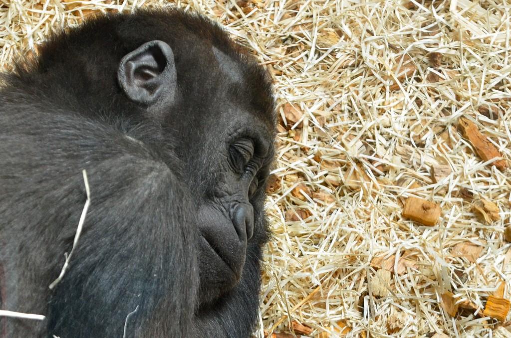 Dierentuin Praag Chimpansee slaapt