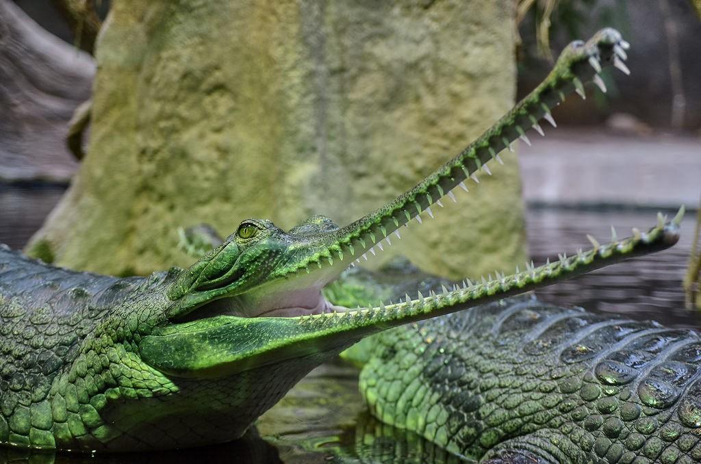 Groene gaviaal krokodil dierentuin Praag