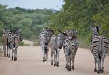 Safari Kruger park zebra's