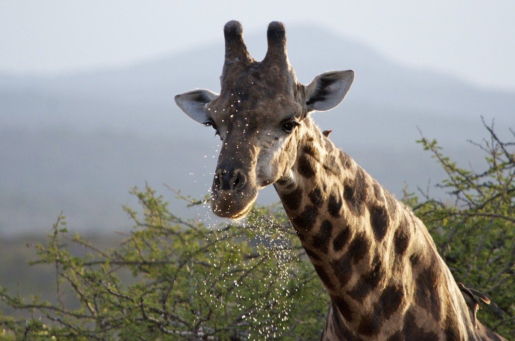 Giraffe after drinking
