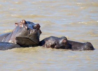 Hippo relaxing