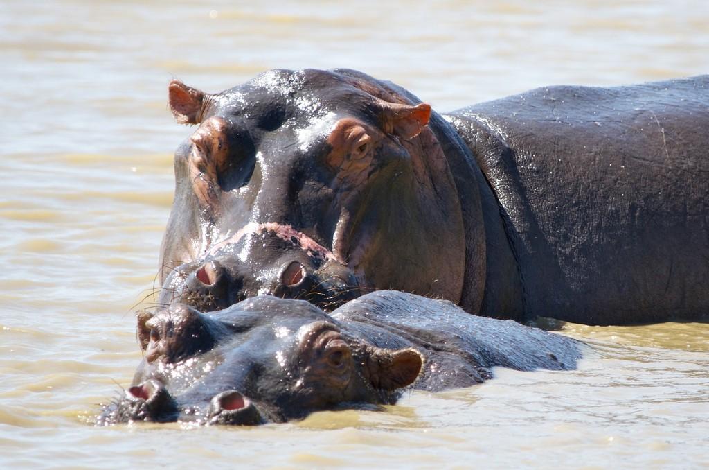 Nijlpaard Scarface