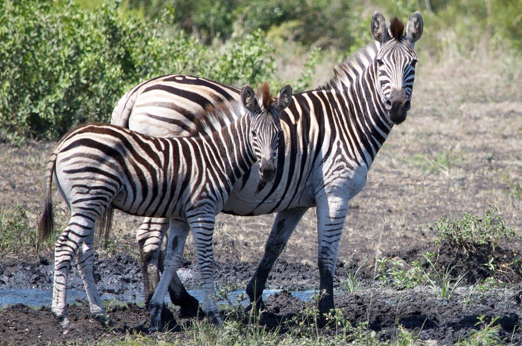Zebra's Hluhluwe National Park