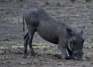 Zwijntje Hluhluwe National Park Zuid-Afrika