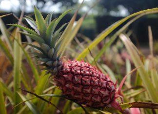 Peervormige ananas op ananasplantage Hawaii