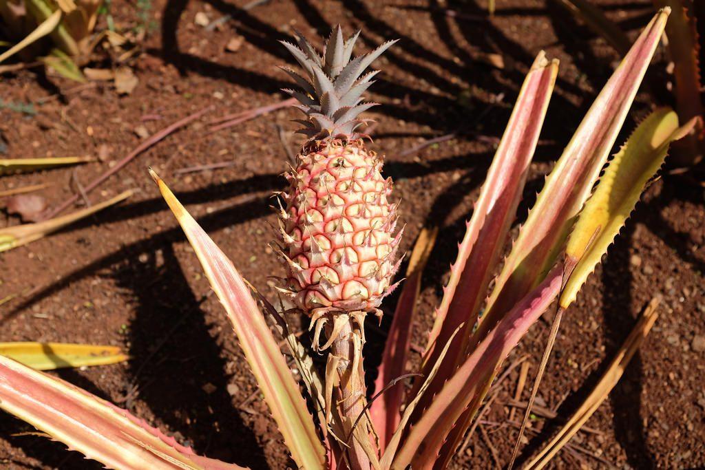 Smooth Cayenne ananasplantage Hawaii