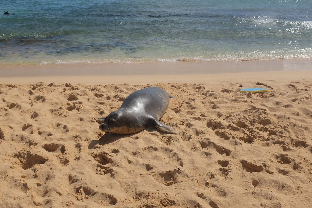 Zeehond Hawaiian Monk Seal Kauai Hawaii