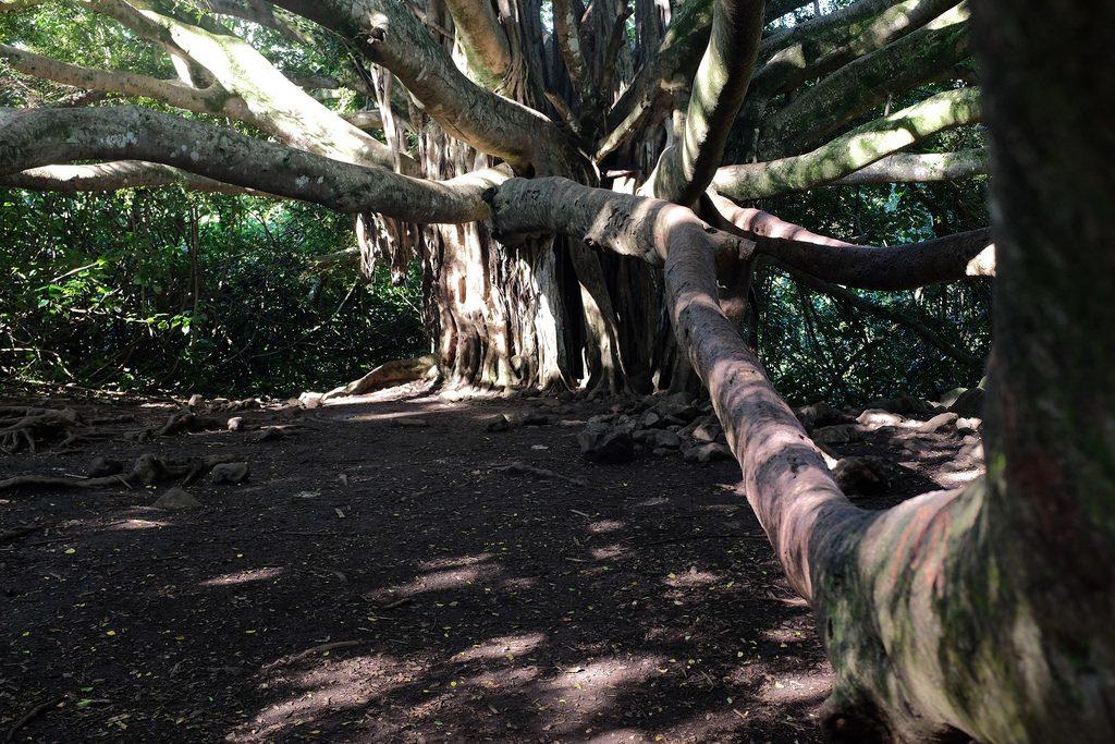 Banyan Bodhiboom Haleakala National Park