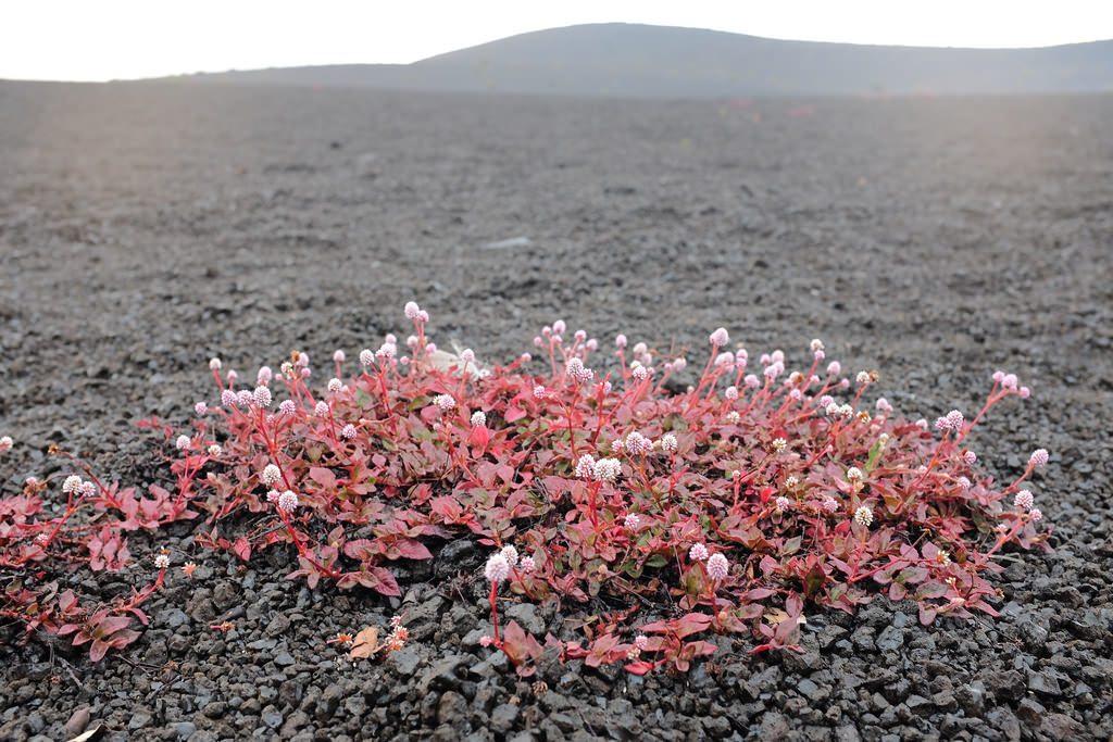 Bloemetjes op vulkanisch landschap Hawaii
