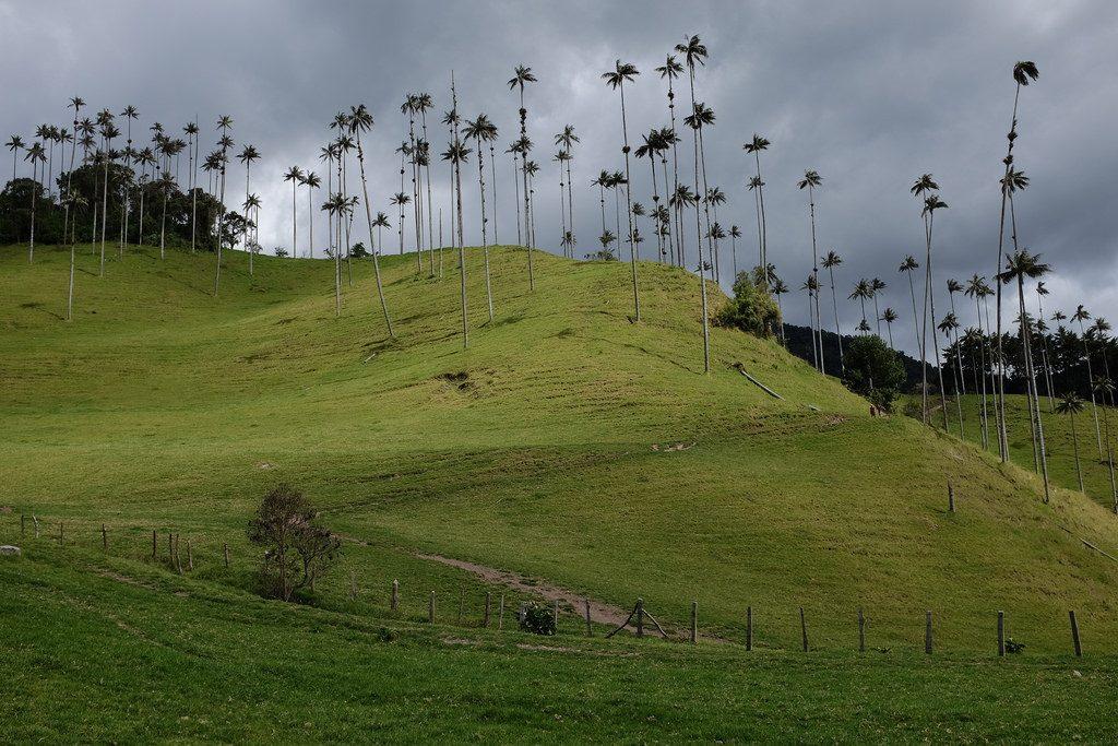 Hoge palmbomen in de Cocoravallei