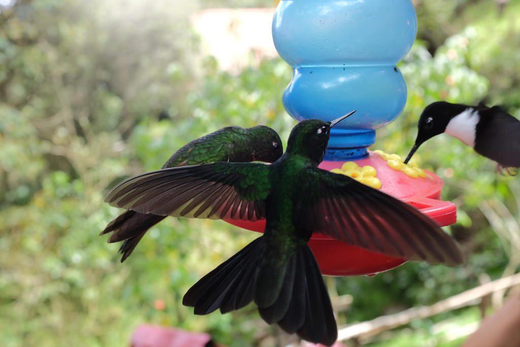 Vogel kolibries Acaime Cocoravallei