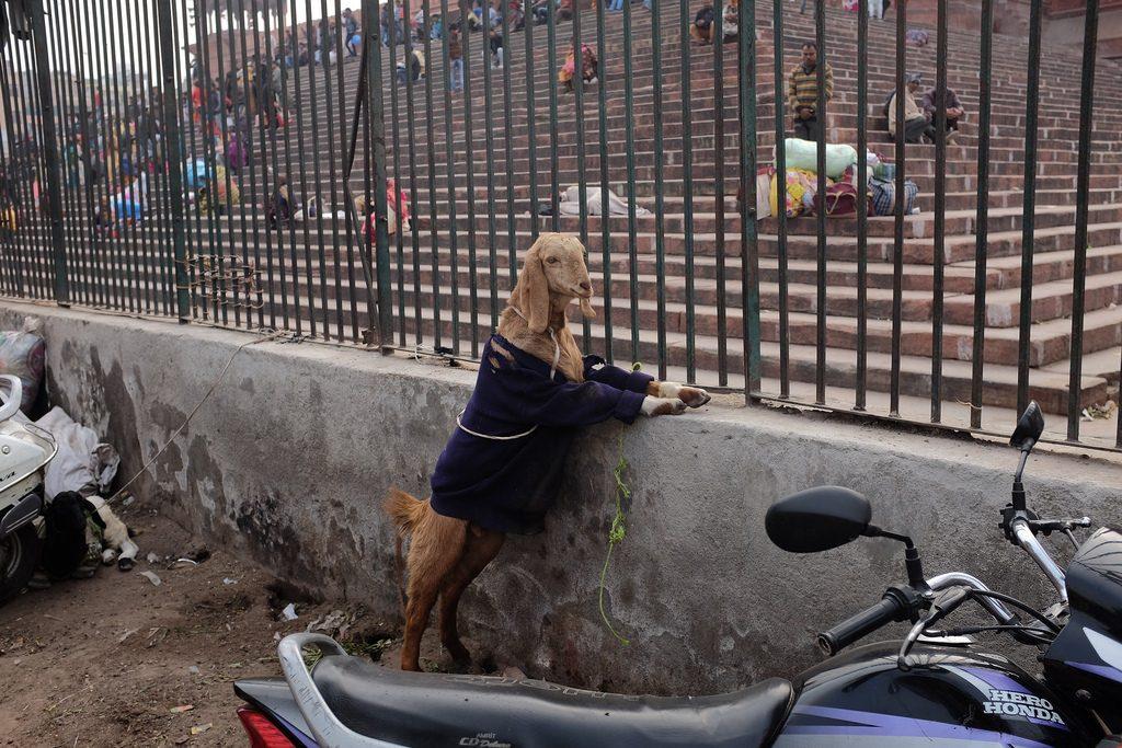 Geit met een jasje aan Old Delhi