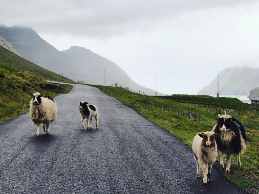 kirkjubour schapen op de Faeroer Eilanden