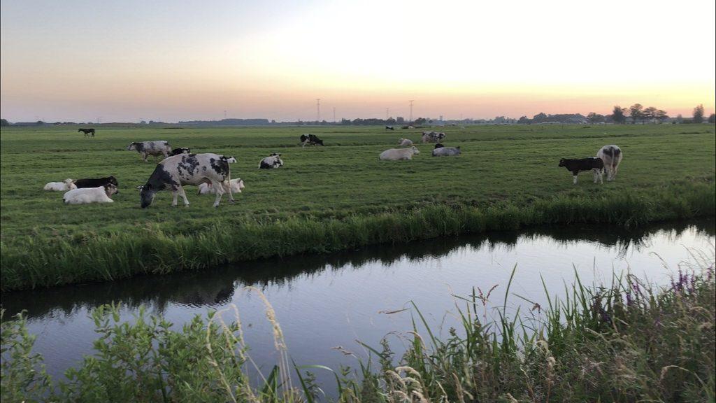 Koeien molenlandschap