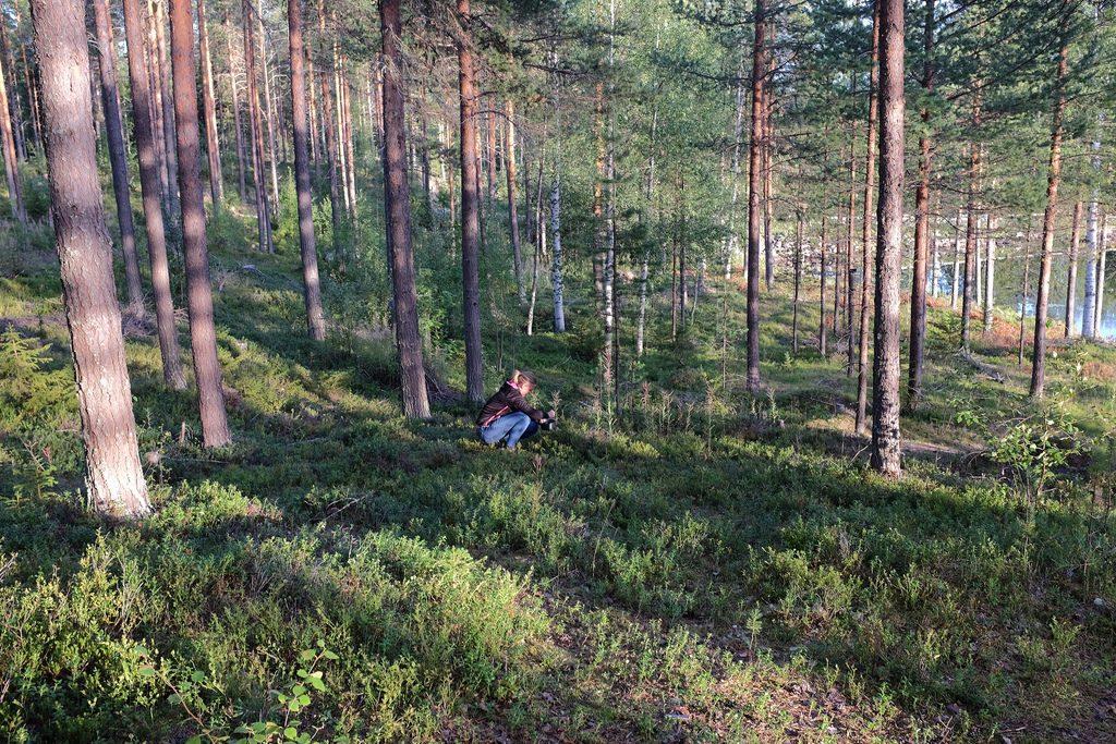 Bessen plukken in het bos Zweeds Lapland zomer