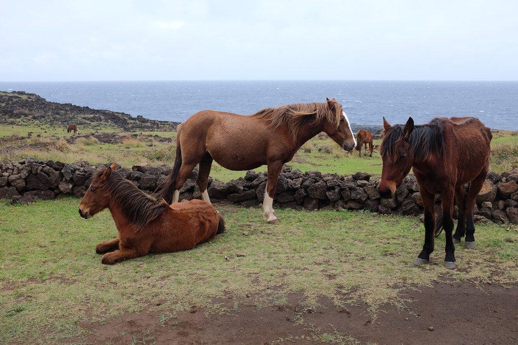 Wilde paarden op Paaseiland Chili