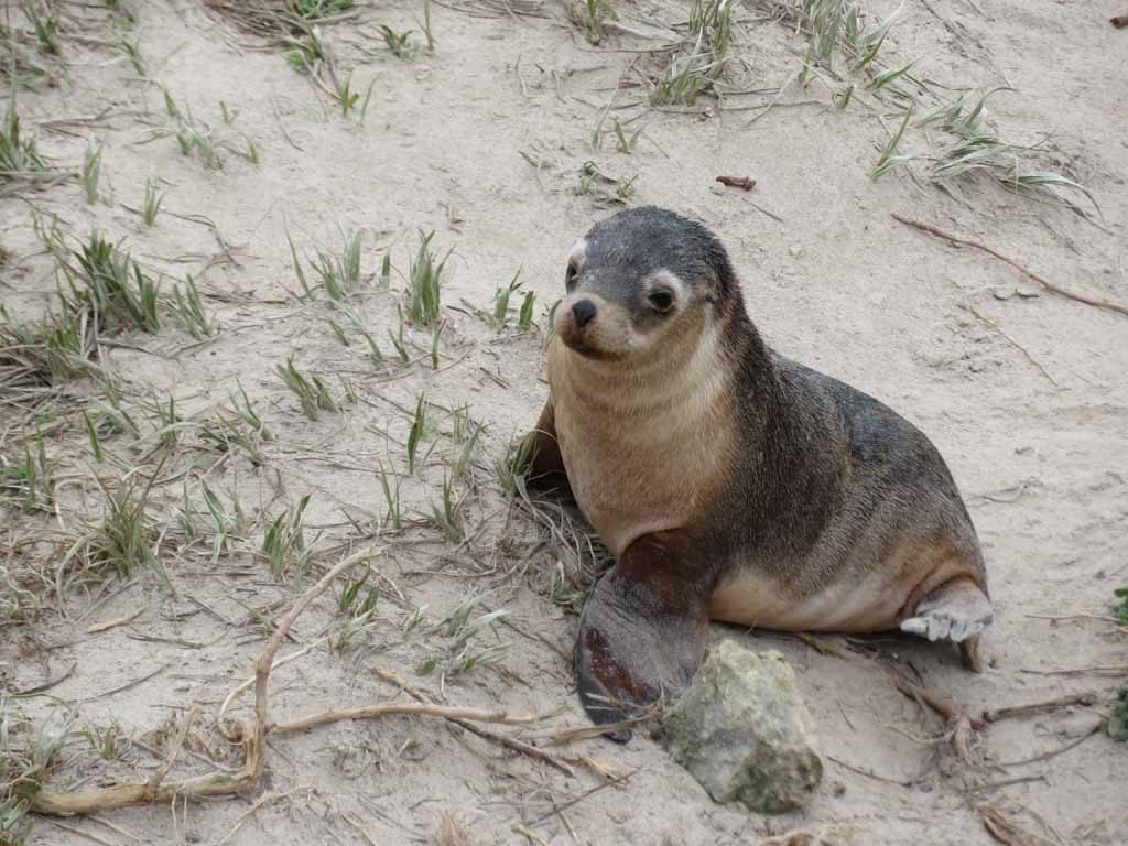 Baby zeehondje in Seal Bay Kangaroo Island Australie