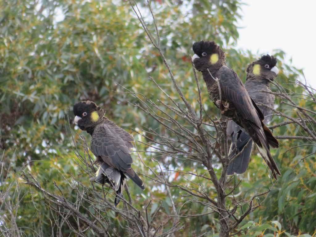 Kakatoes spotten op Cape Borda Kangaroo Island Australie