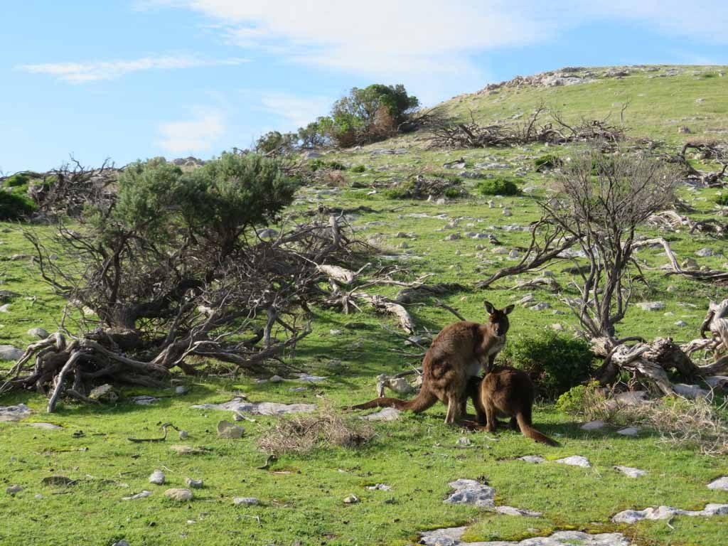 Kangoeroes in Stokes Bay Kangaroo Island Australie