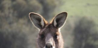 Kangoeroes spotten en kamperen op Kangaroo Island