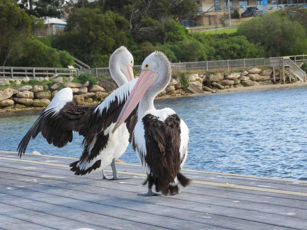 Pelikanen Kingscote Kangaroo Island Australie