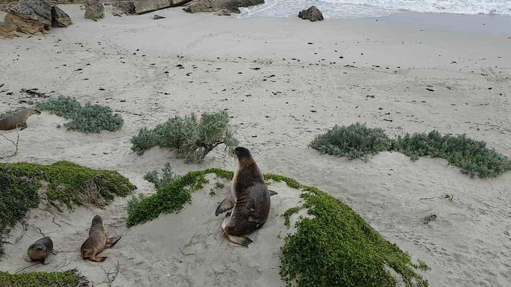 Seal Bay Kangaroo Island Australie