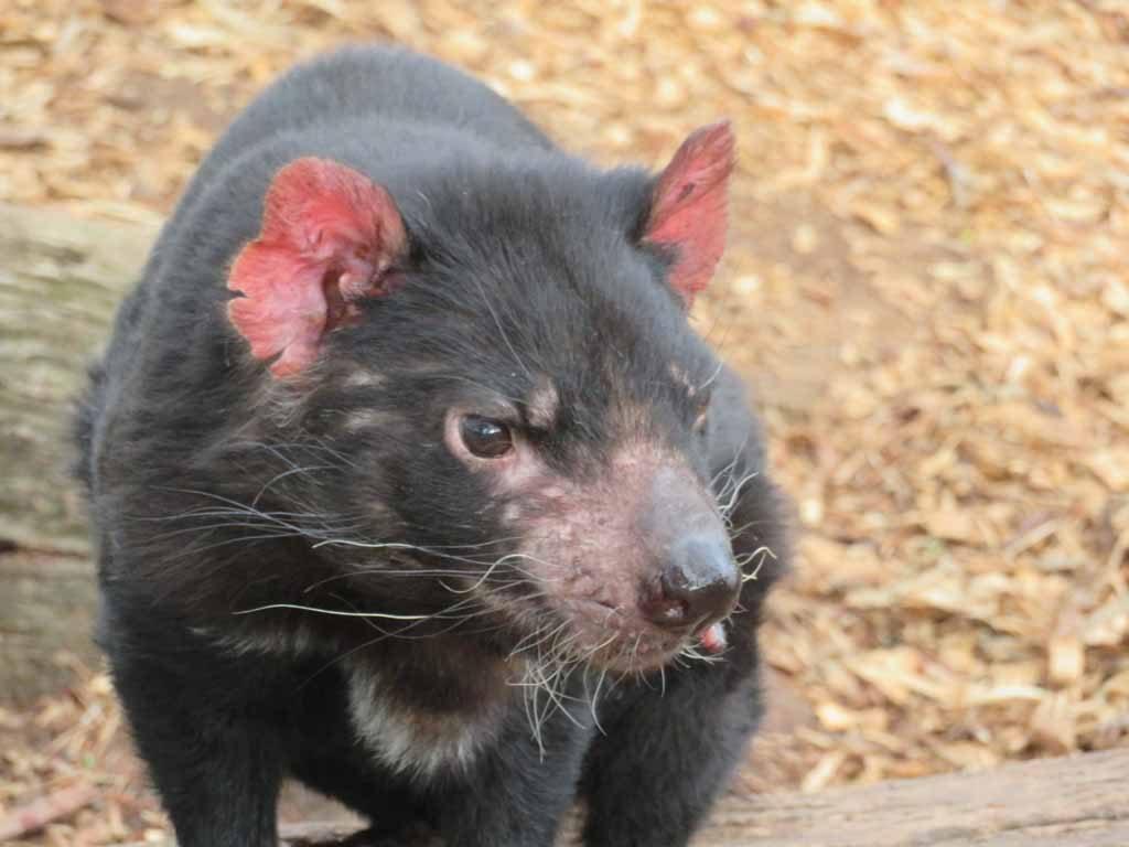 De Tasmaanse duivel Tasmanië Australië
