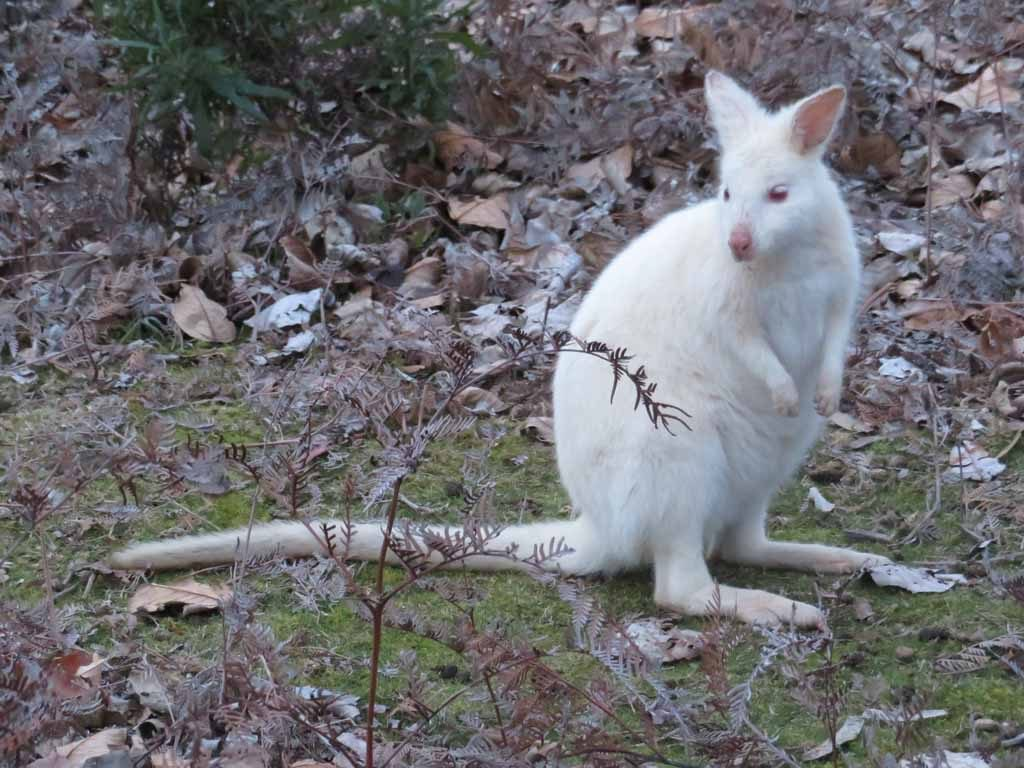 De White Walliby Tasmanië Australië