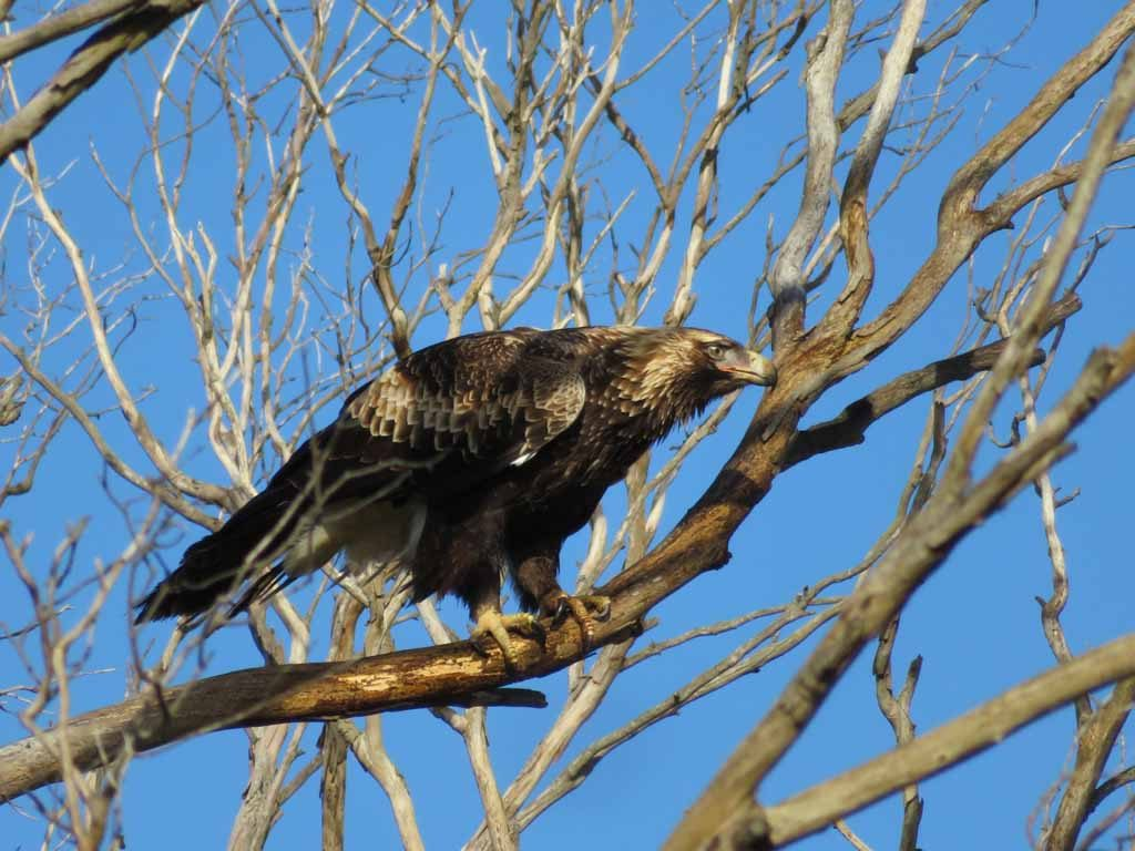 De wigstaartarend Tasmanië Australië