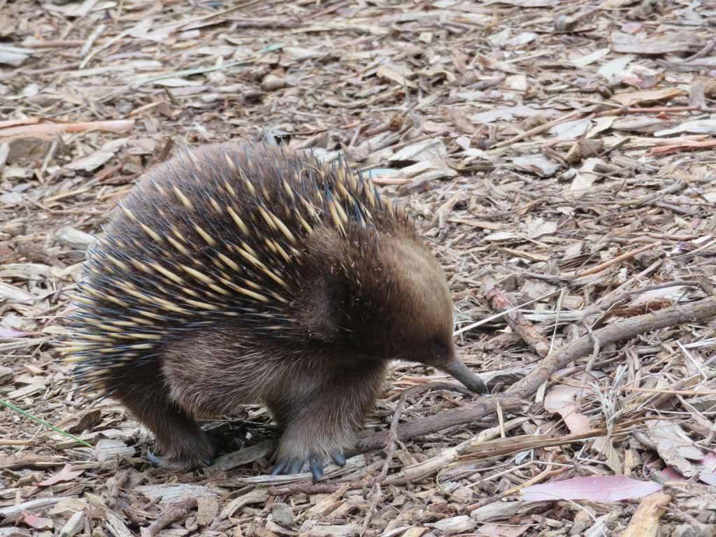 Echidna op Tasmanië Australië