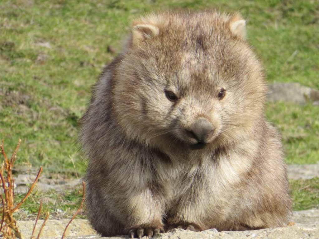 Wombat op Tasmanië Australië