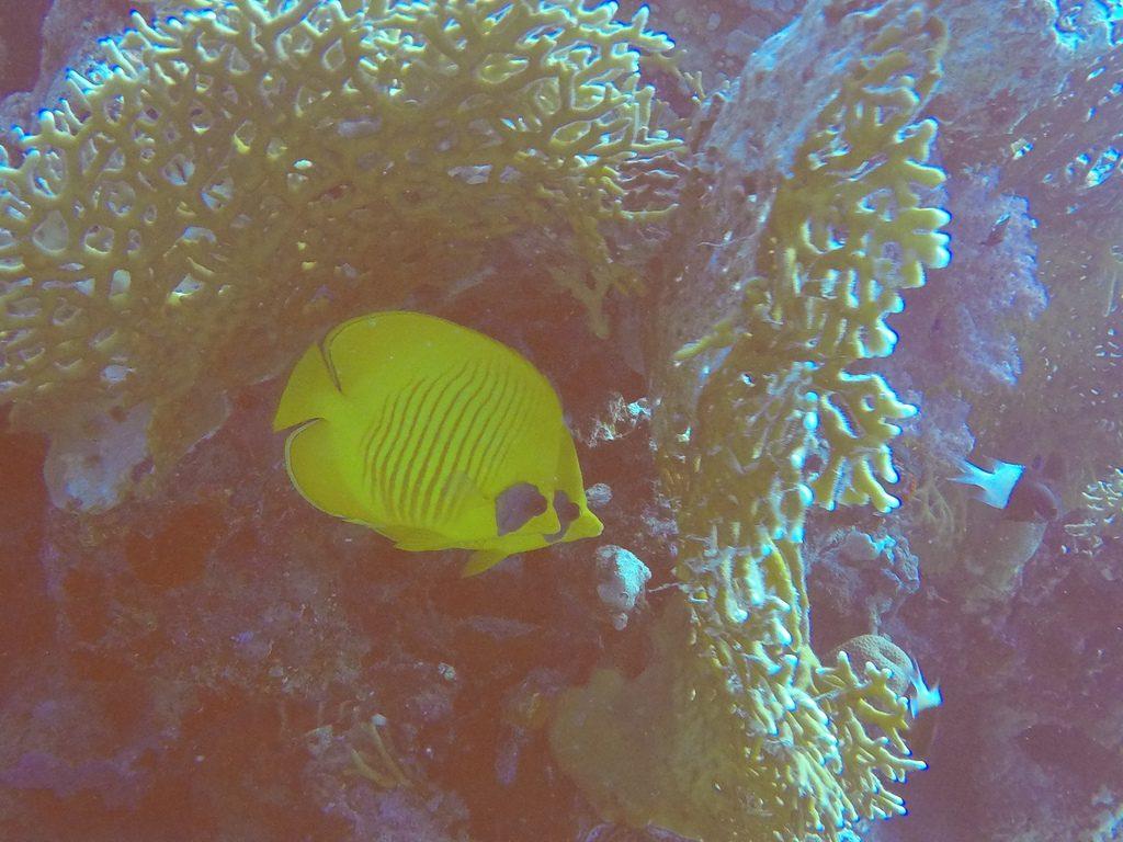 Gele vissen in de Rode Zee Egypte Hurghada
