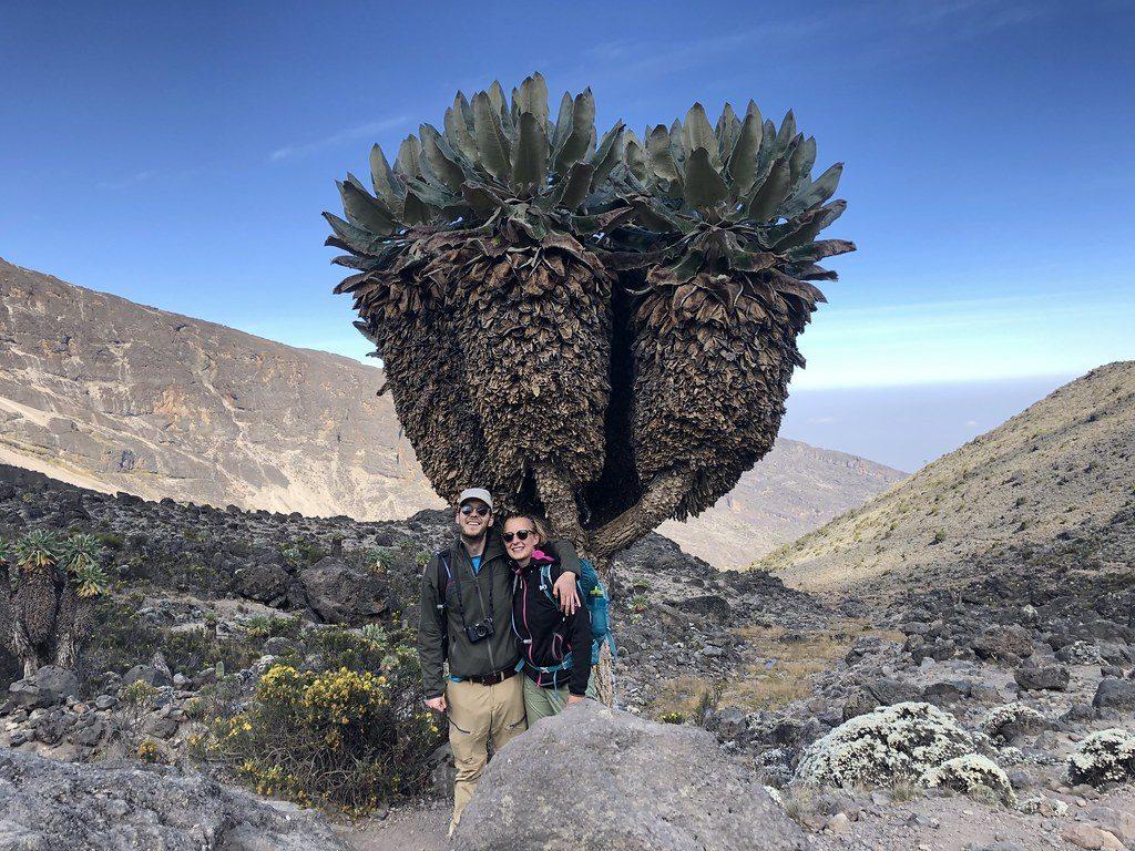 Bijzondere bomen tijdens de beklimming Kilimanjaro