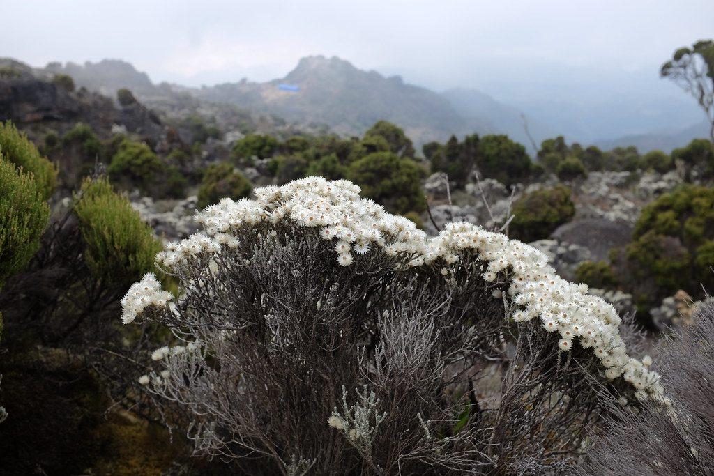 Eeuwige bloemetjes op de berg Kilimanjaro